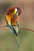 Bee-eaters / Gruccione (Merops apiaster)