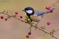 Great Tit / Cinciallegra (Parus major)