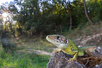Green lizard / Ramarro occidentale (Lacerta bilineata)