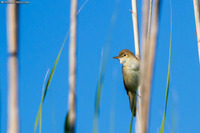 Reed Warbler / Cannaiola (Acrocephalus scirpaceus)