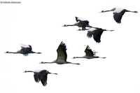 Common crane / Gru (Grus grus)