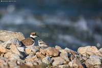 Little Ringed Plover / Corriere piccolo (Charadrius dubius)