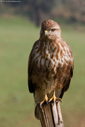 Common Buzzard / Poiana (Buteo buteo)