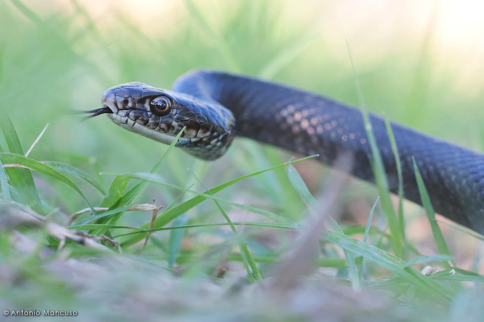 Biacco hierophis viridiflavus for Serpente frustone